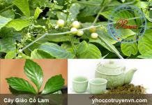 Hình ảnh cây Giảo Cổ Lam