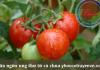 Ngăn ngừa ung thư từ cà chua