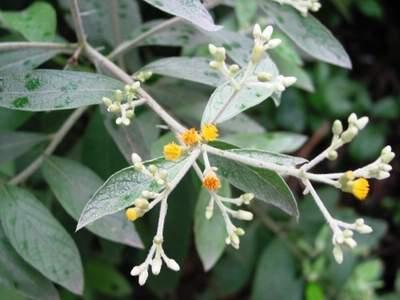 cây đại bi chữa cảm sốt