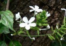 bạch xà hoa