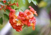 hoa lan tiêu