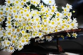 hoa cúc tươi