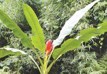 cây chuối hột