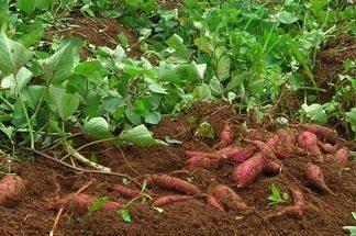 Khoai lang được trồng rộng rãi ở nước ta