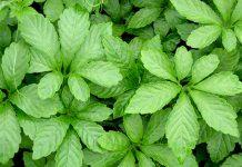 Giảo cổ lam: cây thuốc quý có nhiều công dụng tốt cho sức khỏe