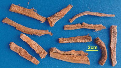 Hoàng bá nam là vị thuốc chính để điều trị bệnh ung thư