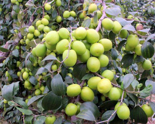 Táo nhân thường mọc hoang hay được trồng ở nước ta