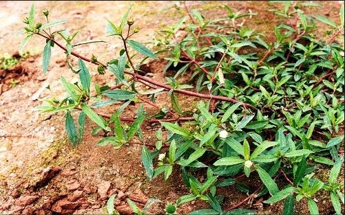 Cỏ mực là loại cây có tác dụng chữa nhiều chứng bệnh khác nhau
