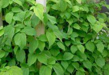 Công dụng trị bệnh thần kỳ của cây lá Gai
