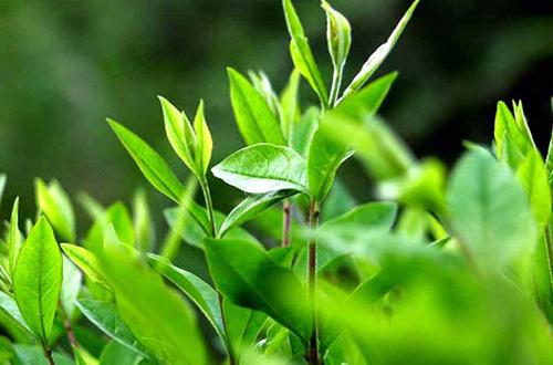 Lá trà xanh trị viêm da dị ứng