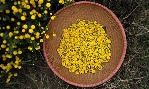 Cúc chi là cây thuốc quý được người dân Nghĩa Trai trồng nhiều nhất