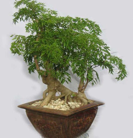 Rễ đinh lăng được biết đến là vị thuốc có vị đắng, tính ngọt, mát