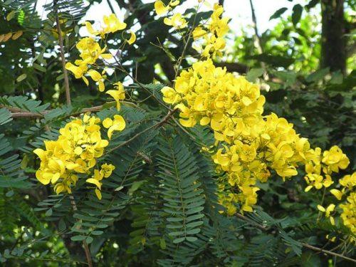 Vọng giang nam là loại cây thường mọc hoang