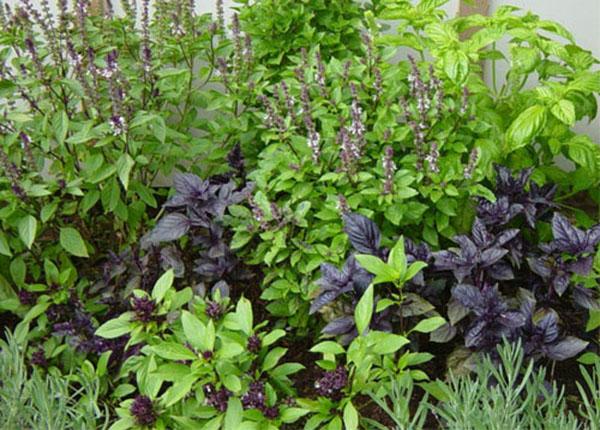 Cây hương nhu là thảo dược rất quen thuộc với chúng ta